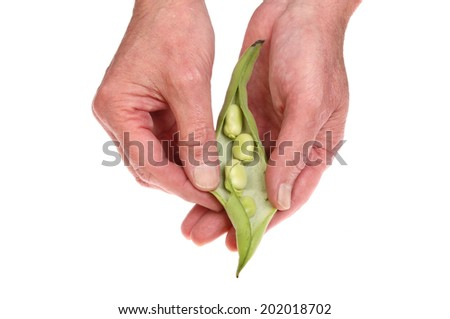 Hands shelling fresh broad beans from a pod isolated against white - stock photo