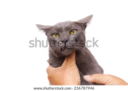 hands touching a grey cat feeling annoyed