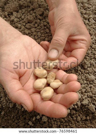 hands with broad beans ready to sowing