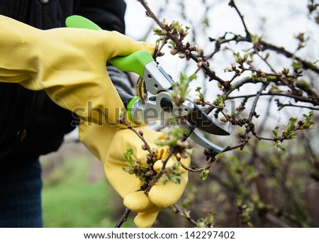 Hands with gloves of gardener doing maintenance work, cutting the bush - stock photo