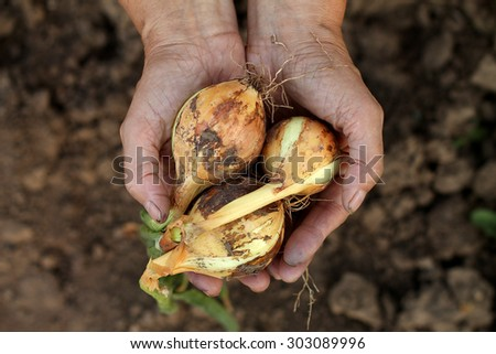 Hands with onion - stock photo