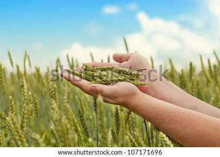 Hands with wheat ears on cereals field in summer - stock photo