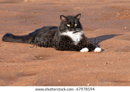Handsome black and white tuxedo cat resting on red sand - stock photo