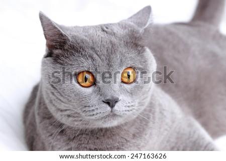 Handsome British cat - stock photo
