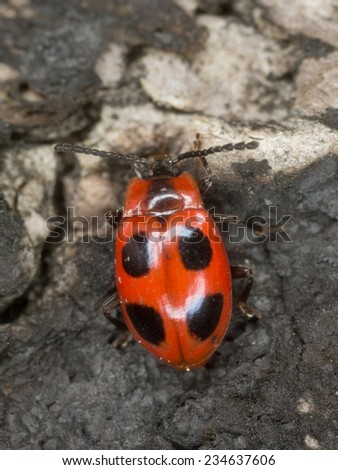 Handsome Fungus Beetle, endomychus coccineus on burnt wood - stock photo