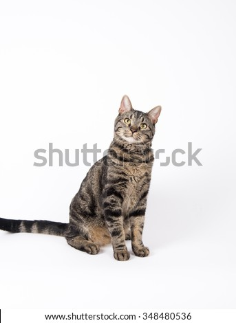 Handsome Gray Tabby Cat Sitting on White Background - stock photo