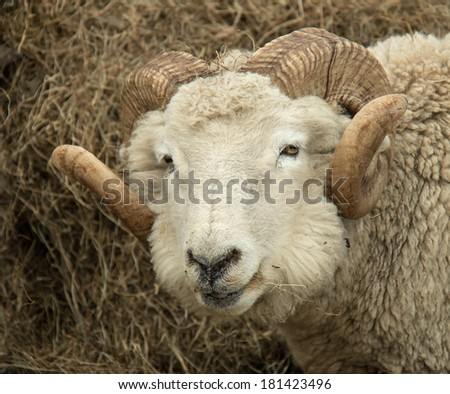 Handsome Ram with curled horns - stock photo