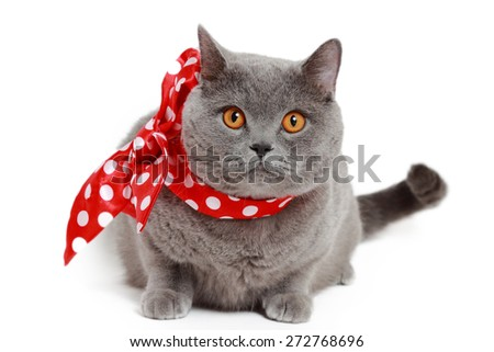 Handsome short hair gray British cat with red bow