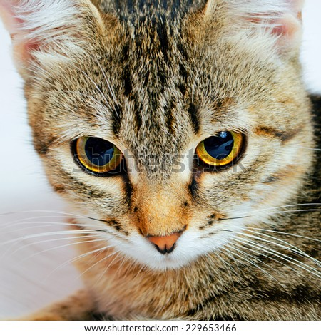 Handsome young, gray striped cat on a light background. - stock photo
