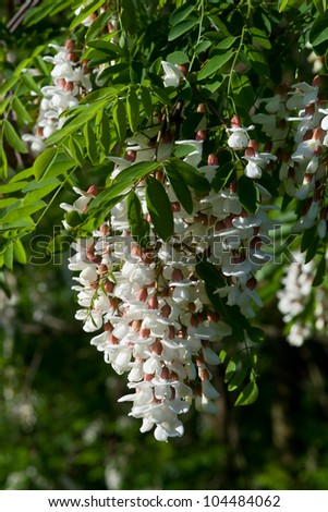 Hanging bloom of a Black Locust Tree, Robinia pseudoacacia, otherwise known as the false acacia. - stock photo
