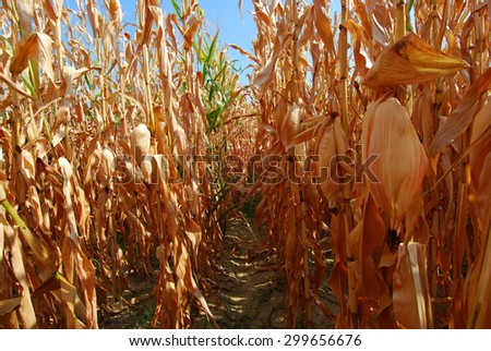 Hanging corn cobs after drought  - stock photo