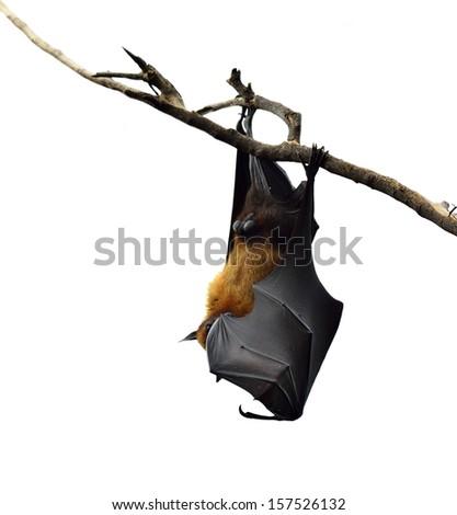Hanging flying fox or big bat closing his eyes isolated on white background - stock photo