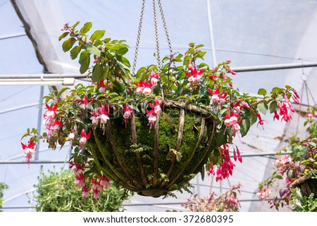 Hanging metal pot of  fuchsia flowers in a greenhouse