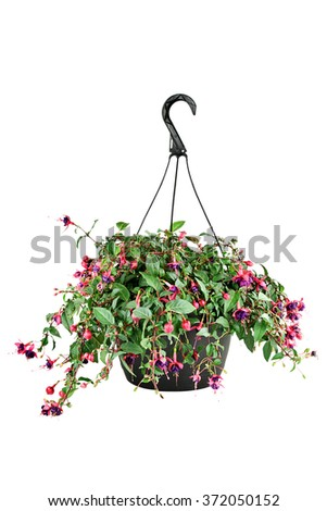 Hanging pot of a Fuchsia plant with clipping path.  - stock photo