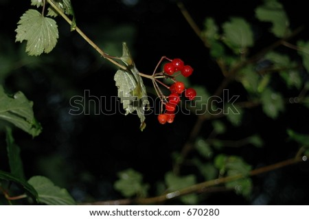 Hanging Red Berries