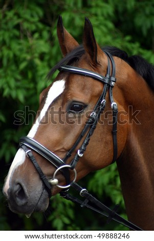Hannoveraner Warmblut Portrait - stock photo