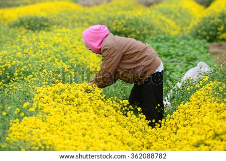 Hanoi, Vietnam - Jan 13, 2016: Vietnam farmers together harvesting chrysanthemums. It can be used as pharmaceuticals in medicine. Working collectively help job quickly and efficiently.