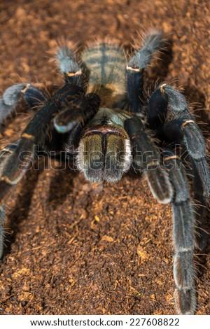 Haplopelma hainanum adult female tarantula fresh skin moult, colours are brilliant. This arachnid has a white beard!  - stock photo