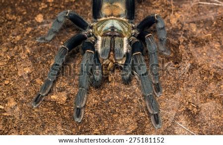 Haplopelma hainanum tarantula from China, Hainan Island, showing white beard while eating a cricket - stock photo