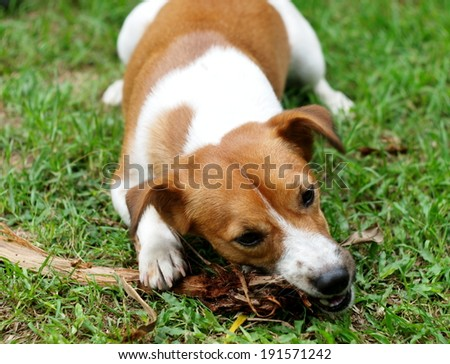 happy active 12 months young Jack Russel terrier dog white and brown playing in a farm surrounding with green area bite a wood stick on the ground outdoor under sunlight in good weather day. - stock photo