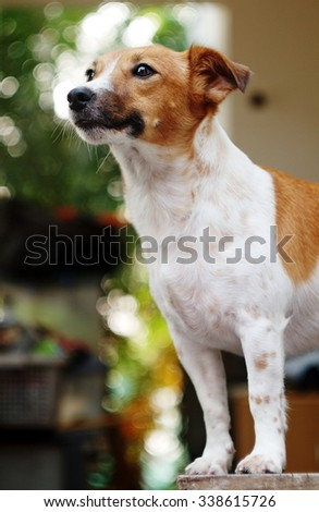 happy active young Jack Russel terrier dog white and brown color face and eyes playing on a wooden table outdoor making serious face under morning sunlight on a good weather day - stock photo