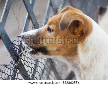 happy active young Jack Russel terrier dog white and brown playing around a house with home outdoor surrounding, barking outside, making serious face, under morning sunlight in good weather day - stock photo