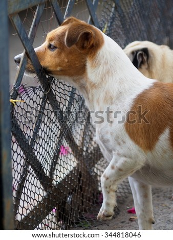 happy active young Jack Russel terrier dog white and brown playing around, barking outside, making serious face with home surrounding background, on good weather day - stock photo