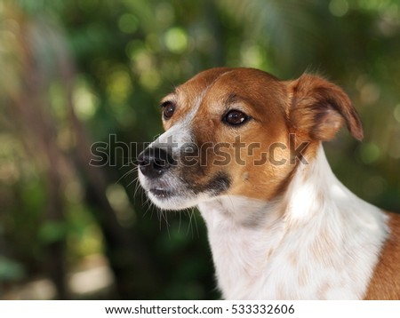 happy active young Jack Russel terrier dog white and brown selective focus portraits outdoor making curious face on good weather day with nice blur green background