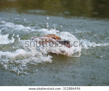 Happy american staffordshire terrier dog running in the water - stock photo