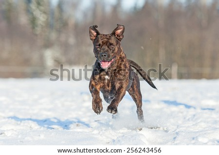 Happy american staffordshire terrier dog running in winter - stock photo