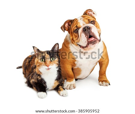 Happy and smiling calico cat and Bulldog breed dog sitting together over white - stock photo