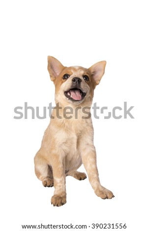Happy Australian cattle dog puppy looking up with mouth open isolated