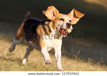 Happy beagle dog running and jumping in park with ball in mouth  - stock photo