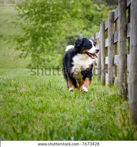 Happy Bernese  Mountain dog running along fenced pasture - stock photo