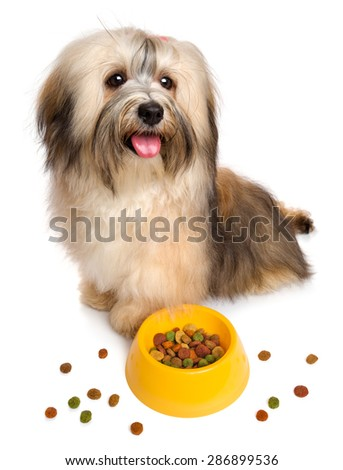 Happy Bichon Havanese puppy is sitting next to her favorite dry food, some dry food scattered around - isolated on white background