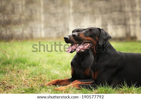 happy black doberman pinscher dogs lie waiting in the meadow - stock photo