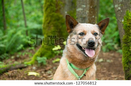 Happy Blue Heeler Dog Going for Hike - stock photo