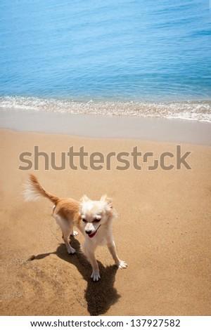 Happy bright small chihuahua on tropical beach - stock photo