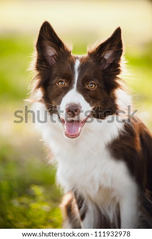 happy brown dog border collie portrait in summer