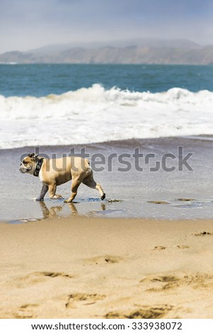 Happy Bull-Dog playing on the beach of San Francisco, United States.
