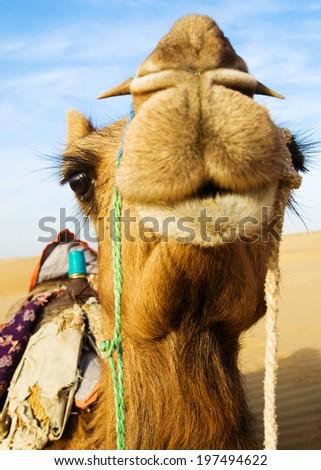 Happy camel smiling in the desert. - stock photo
