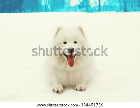 Happy cheerful white Samoyed dog lying on snow in winter day - stock photo