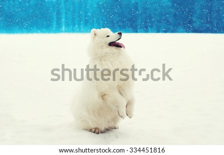 Happy cheerful white Samoyed dog on snow in winter day - stock photo