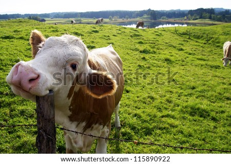 Happy Cow on the pasture, scratching its head with a fence post - stock photo
