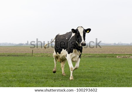 happy cow running and jumping out of winter stable into meadow - stock photo
