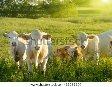 Happy cows - stock photo
