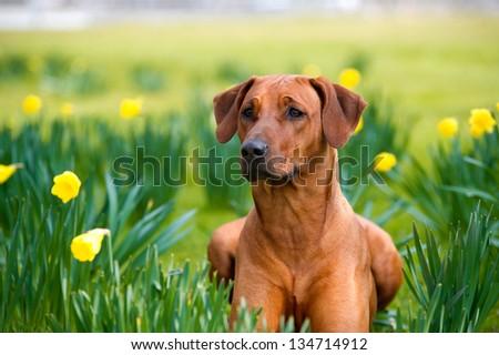 Happy cute english bulldog dog portrait in the spring field of yellow daffodils - stock photo