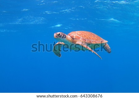 Happy cute sea turtle underwater in the blue ocean. Scuba diving with beautiful sea turtle. Curious underwater animal in the sea swimming towards the camera. Colorful shell and fins.