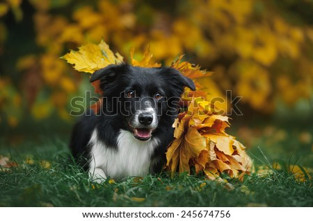 happy dog border collie under leaves in autumn - stock photo