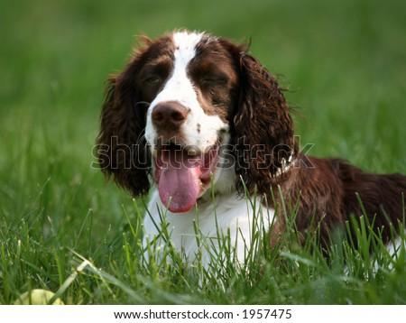 Happy dog (english springer spaniel) is resting in the grass - stock photo